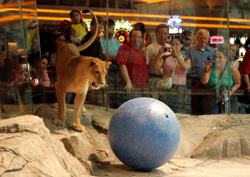 US-20050908-LAS VEGAS: A lion at  Hotel MGM Grand in Las Vegas. .PHOTO GERRIT DE HEUS