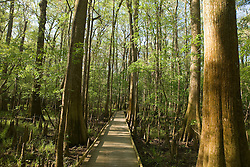 A boardwalk trail allows visitors to walk above the swamp floor and among the trees in Congaree National Park, near Columbia, South Carolina on Earth Day, April 20, 2008.  Protected in 1976 by the US Congress as Congaree Swamp National Monument, the 22,000 acre park became Congaree National Park in 2003.  The park is home to primeval forest landscape, champion trees including record bald cypress, tupelo and loblolly pine trees.