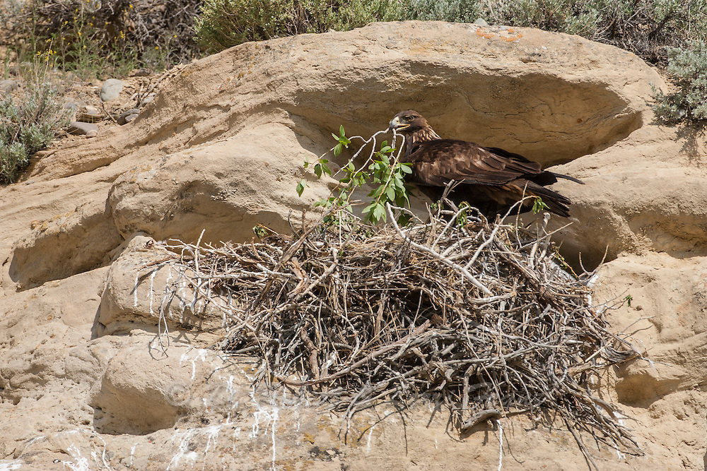 Golden Eagle at nest shading chick with tree branch