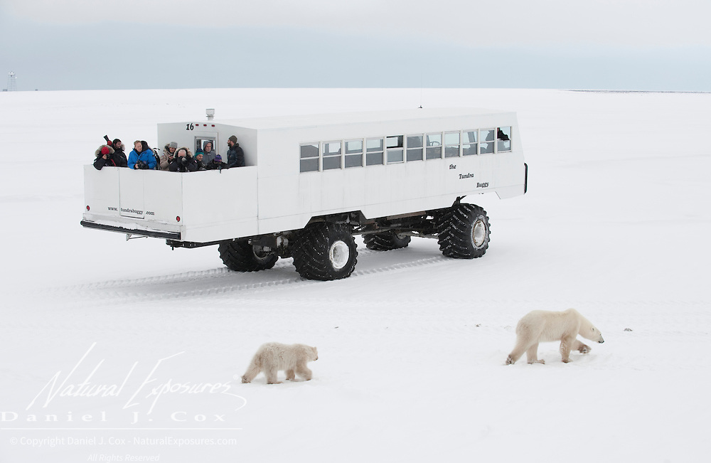 A polar bear mother and her cub pass by a Tundra Buggy. Cape Churchill, Manitoba, Canada
