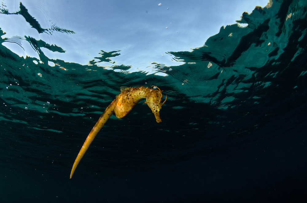 Big-belly seahorse or Pot-bellied seahorse, Hippocampus abdominalis