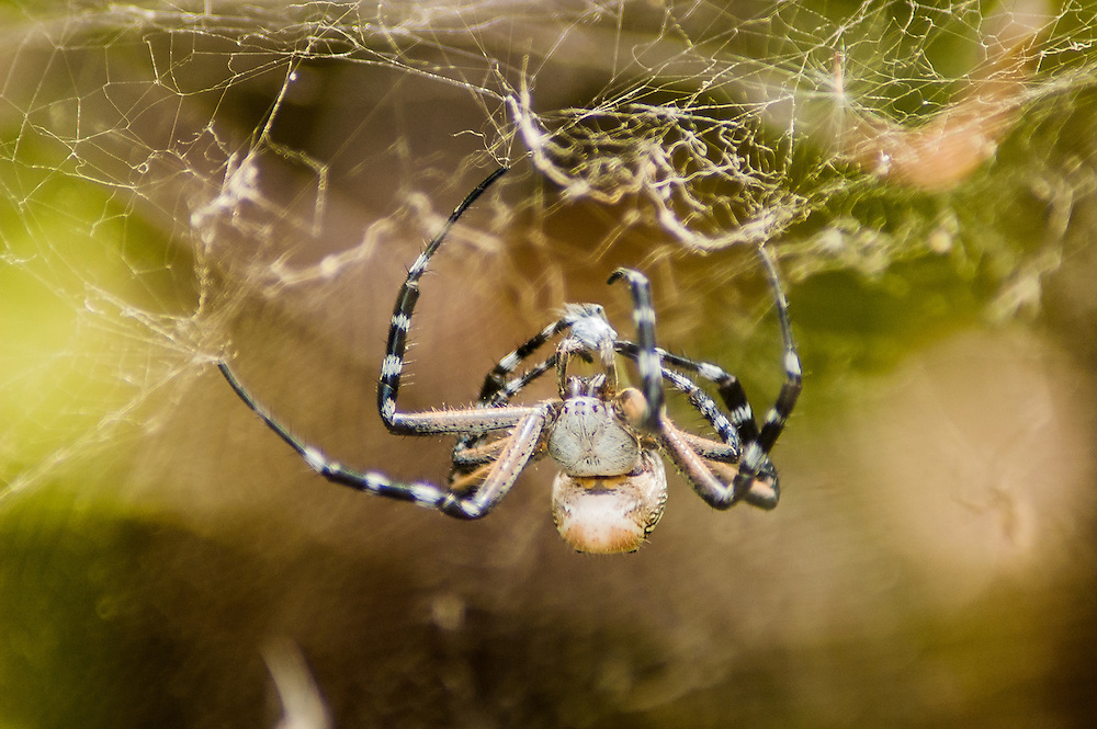 Stock photograph of a Tent spider (Cyrtophora moluccensis) wrapping up its bug lunch in West Papua