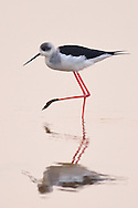 Black-winged stilt, Himantopus himantopus, in the Nansha wetland reserve, Guangdong province, China