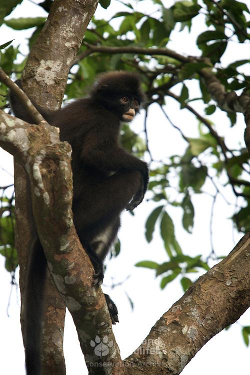 Banded Langur or banded leaf monkey, Presbytis femoralis, In Kaeng Krachan national park, Thailand.