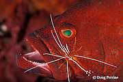 tomato grouper or tomato cod, Cephalopholis sonnerati, being cleaned by humpback cleaner shrimp, Lysmata amboinensis, Bali, Indonesia