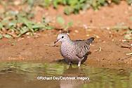 01058-00301 Common Ground-Dove (Columbina passerina) drinking at water Starr Co., TX