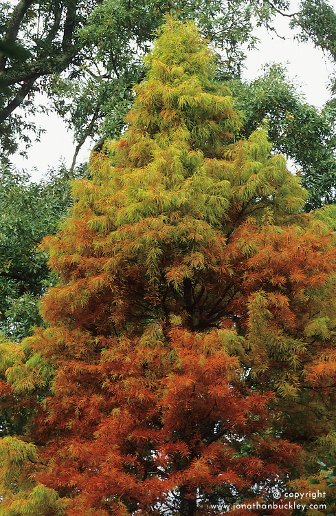 Taxodium distichum in autumn colour at RHS Rosemoor - Swamp cypress