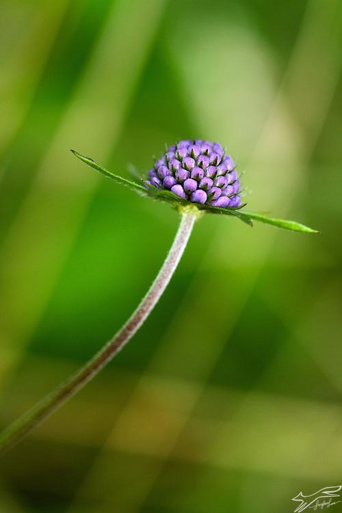 Cornflower, blue, nature, Ireland, wildflower