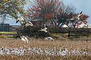 A flock of Snow Geese (Anser caerulescens) come in for a landing at a farmers field in Delta (Tsawwassen), British Columbia, Canada.   Delta and Richmond farm fields and wetlands are often a good source of food for the Snow Geese as they migrate from their summer breeding grounds to warmer winter habitat.