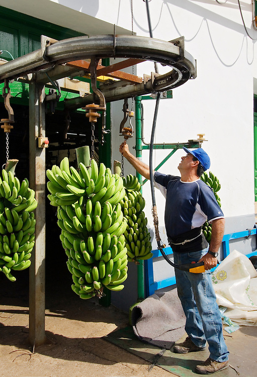Unloading bananas into the cooperative packaging facility in the Hermigua valley, La Gomera, Canary Islands. Prior to export