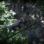 Indochinese grey langur, Trachypithecus crepusculus. Previously recognized as a subspecies of Phayre's Langur, the Indochinese Grey Langur is now a distinct species based on molecular data.