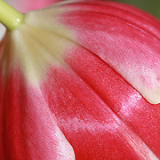 """""""Candy Cane Tulip""""<br /> <br /> Beautiful red and white tulip macro!"""