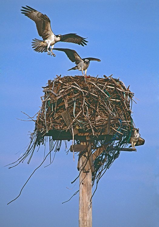 Osprey Nest, East Marion, Long Island, South Fork, New York