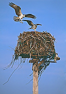 Osprey Nest, East Marion, Long Island, South Fork, New York
