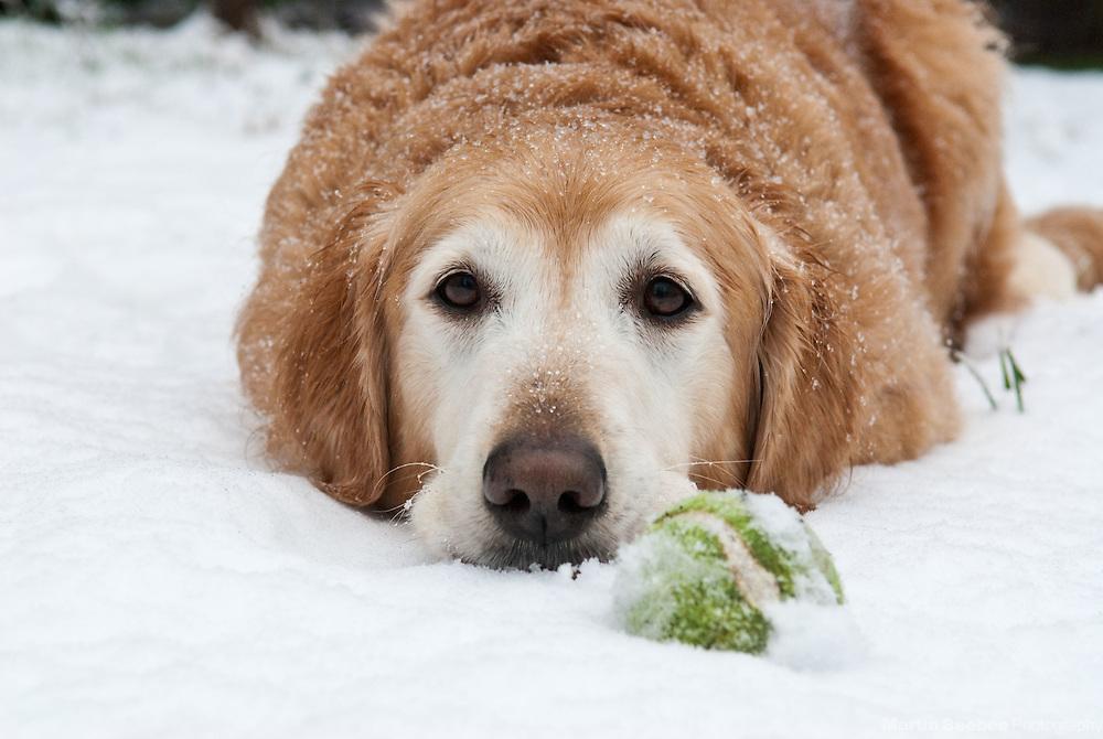 A golden retriever lies in the snow with a tennis ball