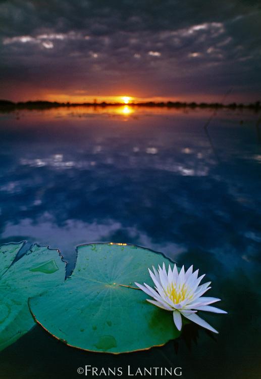 Day-blooming water lily closing at sunset, Okavango Delta, Botswana