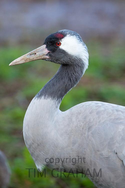 Common Crane - Eurasian Crane - Grus grus at Slimbridge Wildfowl and Wetlands Centre, England, UK
