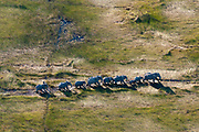 Aerial view of an African elephants herd (Loxodonda africana) following a trail in tall grass.