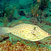 Scrawled Filefish drift over reefs and rocky bottoms with abundant gorgonian growths in Tropical West Atlantic and cirumtropical; picture taken Key Largo, FL .