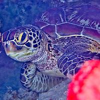 Alberto Carrera, Green Sea Turtle, Chelonia mydas, Bunaken National Marine Park, Bunaken, North Sulawesi, Indonesia, Asia