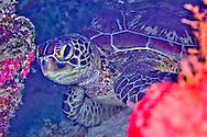 Alberto Carrera, Green Sea Turtle, Chelonia mydas, Bunaken National Marine Park, Bunaken, North Sulawesi, Indonesia, Asia
