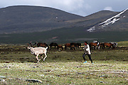 Stunning images reindeer herders of Mongolia<br /> <br /> Tsaatan people are reindeer herders and live in northern Kh&ouml;vsg&ouml;l Aimag of Mongolia. Originally from across the border in what is now Tuva Republic of Russia,the Tsaatan are one of the last groups of nomadic reindeer herders in the world. They survived for thousands of years inhabiting the remotest Ulaan ta&iuml;ga, moving between 5 and 10 times a year. <br /> The reindeer and the Tsaatan people are dependent on one another. Some Tsaatan say that if the reindeer disappear, so too will their culture. The Tsaatan depend on the reindeer for almost, if not all, of their basic needs:  their reindeers provide them with milk, cheese, meat, and transportation. They sew their clothes with reindeer hair, reindeer dung fuels their stoves and antlers are used to make tools. They do not use their animals for meat. This makes their group unique among reindeer-herding communities. As the reindeer populations shrink, only about 40 families continue the tradition today. Their existence is threatened by the dwindling number of their domesticated reindeer. Many have swapped their nomadic life for urban areas. <br /> <br /> Running after the reindeers by sunset to bring them back to the camp for milking<br /> &copy;Pascal MANNAERTS/Exclusivepix Media