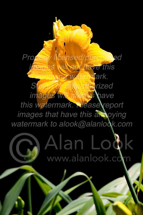 10 Jul 2011:  Lily bloom