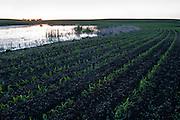 Corn field bordering prairie pothole, South Dakota