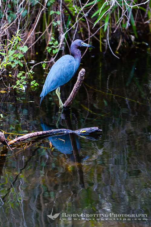 US, Florida, Everglades, Shark Valley. Little Blue Heron.