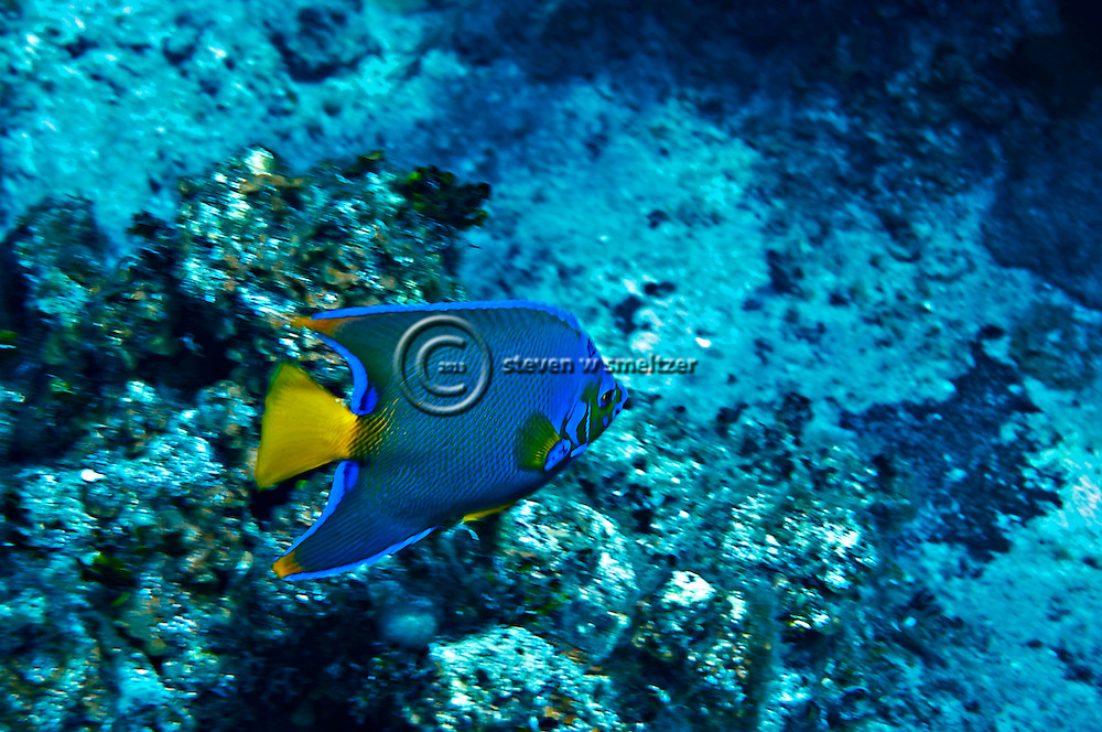 Queen Angelfish, Holacanthus ciliaris, (Linnaeus, 1758), Grand Cayman