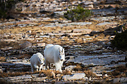 Mountain Goats, Bald Mountain Pass, Uintas, Utah