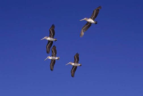Brown Pelican, (Pelecanus occidentis) Sea of Cortez. Baja, Mexico