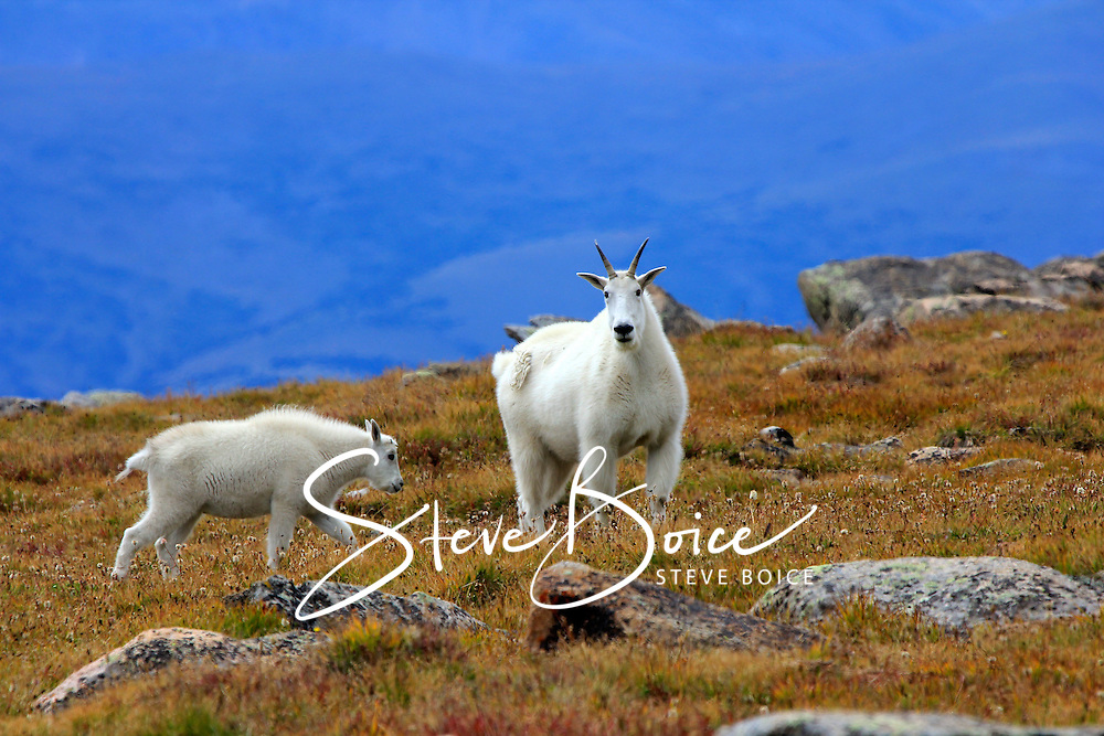 Mountain goat and baby kid in an alpine meadow in the Mount Evans Wilderness in Colorado