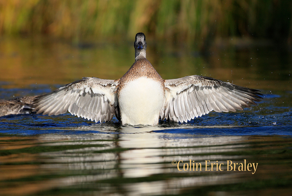 A Duck spreads its wings during a sunny fall day in Grand Teton National Park in Wyoming. Colin Braley/Wild West Stock
