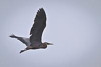Flying Great Blue Heron (Ardea herodias fannini) at the Hood Canal of Puget Sound, Washington state, USA panorama