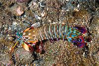 Peacock Mantis Shrimp<br /> <br /> Shot in Indonesia
