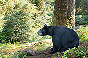 An adult American black bear sits next to the bear observation platform at Anan Creek in the Tongass National Forest, Alaska. Anan Creek is one of the most prolific salmon runs in Alaska and dozens of black and brown bears gather yearly to feast on the spawning salmon.