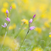 Red Helleborine, Cephalanthera rubra, orchid. Flower just in bloom in meadow field
