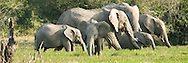 In an wide open field edged in trees, through a narrow opening in the brush, families of elephants grazed on the last of deep green grass before the dry season.