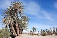 Oasis with date palms (Phoenix dactylifera).