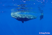 sperm whales, Physeter macrocephalus, female babysitter and calf, Endangered Species, Commonwealth of Dominica ( Caribbean Sea)