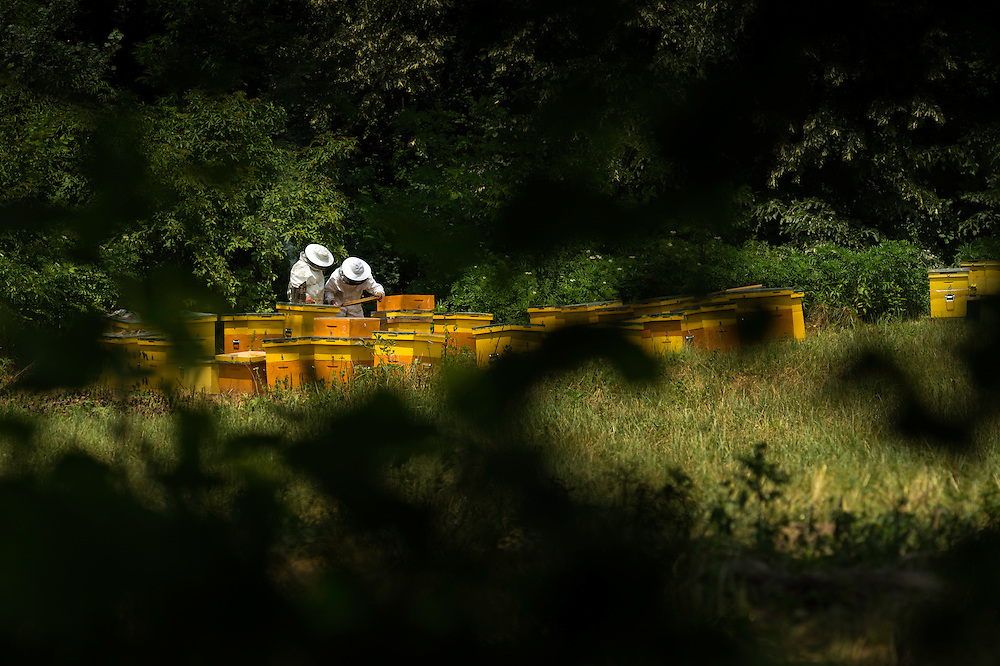 Travelling beekeepers at work surrounded by linden trees next to the forest Valea Fagilor close to Macin Mountains National Park. Somewhere between Horia village and Tulcea, Romania.
