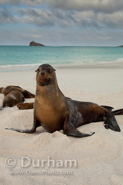 Galapagos sea lion(s) (Zalophus californianus) on the beach of Espanola Island, Galapagos Archipelago - Ecuador.