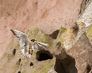 Peregrine falcon braking with her tail feathers, about to land on a ledge on a cliff, © 2015 David A. Ponton [Prints to 8x10, 16x20, 24x30, or 40x50 in. with no cropping]