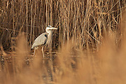 Grey heron standing on ice on a late winter's evening, lit by the sun amongst reeds.