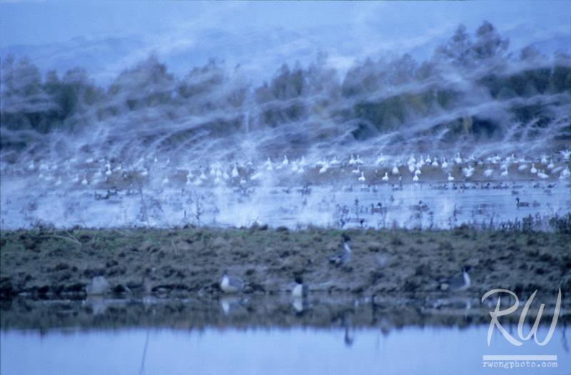 Waterfowl, Sacramento National Wildlife Refuge, California