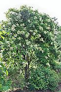 Hydrangea heteromalla 'Jermyn's Lace' (tree hydrangea 'Jermyn's Lace') with white flowers