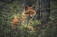 A young red fox (Vulpus vulpus) in the forest. Yukon Territory, Canada