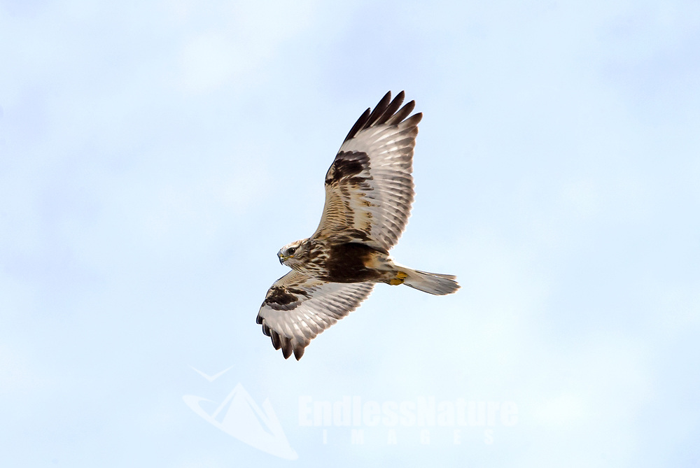 A Rough Legged Hawk soars over a local wetland in the north end of Utah.