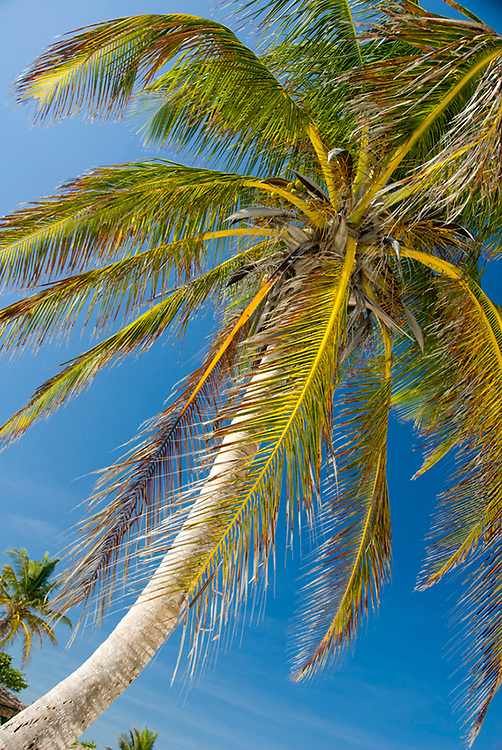 Looking Up at a Green Leaves of a Palm Tree Against Blue Sky, Tulum, Quintana Roo, Mexico 2007 NR